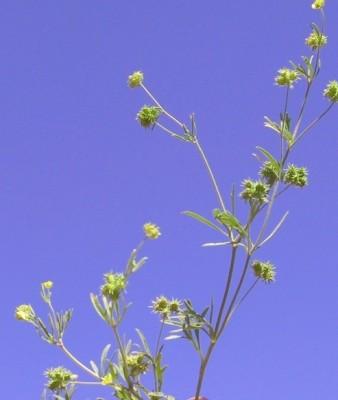 נורית השדה Ranunculus arvensis L.