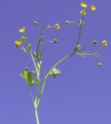 נורית המלל Ranunculus scandicinus (Boiss.) P.H.Davis