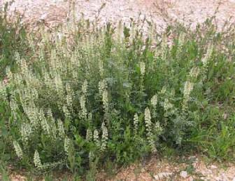 עשבים חד-שנתיים או דו-שנתיים, גובהם עד 80 ס