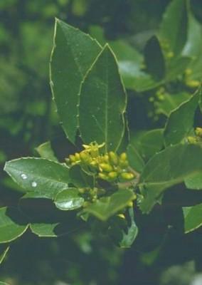 Rhamnus alaternus L.