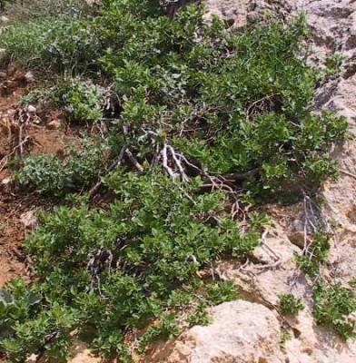 Rhamnus libanotica Boiss.