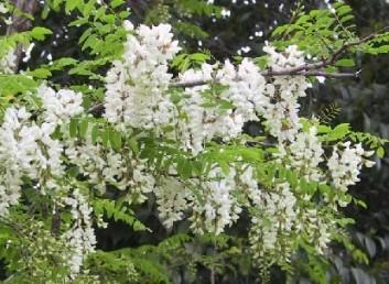 הפרחים פרפרניים, לבנים.