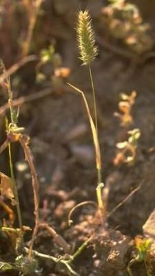 Rostraria smyrnacea (Trin.) H. Scholz