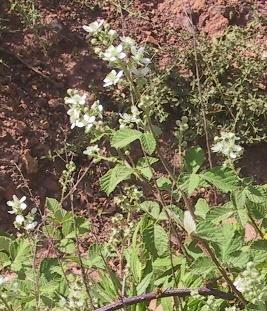 פטל לביד Rubus canescens DC.