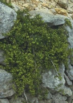 Rubia tenuifolia D'Urv.