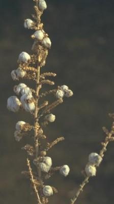 מלחית מסורגת Salsola cyclophylla Baker