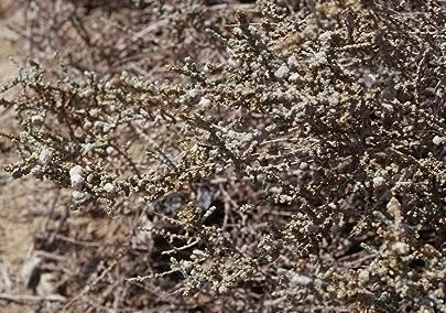 Salsola cyclophylla Baker