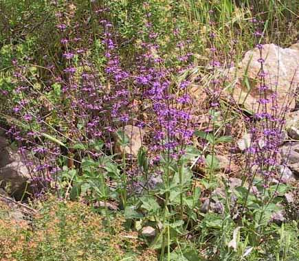 Salvia judaica Boiss.