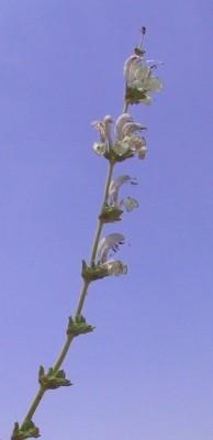 Salvia microstegia Boiss. & Balansa