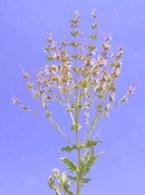 מרווה ארץ-ישראלית Salvia palaestina Benth.