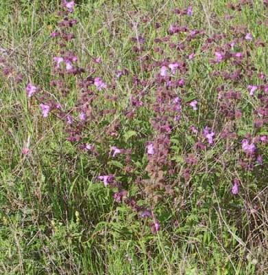 מרווה מנוצה Salvia pinnata L.