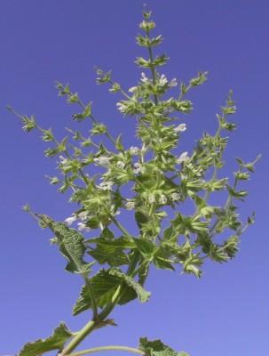 מרווה קוצנית Salvia spinosa L.