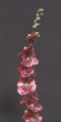 מלחית אשונה Salsola vermiculata L.