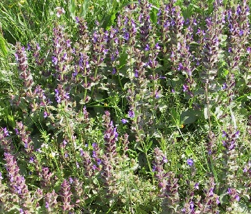 מרווה דגולה Salvia viridis L.