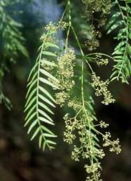 הענפים משתלשלים (עץ בכות) העלעלים צרים, אורכם פי 7-6 מרוחבם; מספרם עולה על 20.