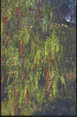 פלפלון בכות Schinus molle L.