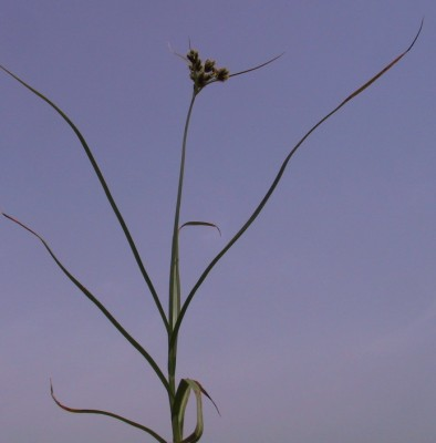 אגמון ימי Scirpus maritimus L.
