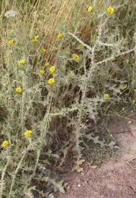 חוח עקוד Scolymus maculatus L.