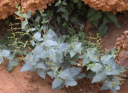 לוענית הלבנון Scrophularia libanotica Boiss.