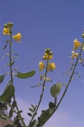 צבע הכותרת צהוב-כתום ללא עורקים, התרמיל ישר, קשוותיו חלקות (ללא בליטות כלשהן).