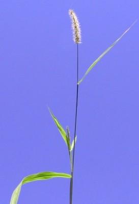 זיפן מצוי Setaria adhaerens (Forssk.) Chiov.