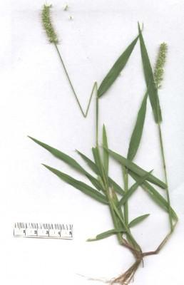 זיפן הדורים Setaria verticillata (L.) P.Beauv.