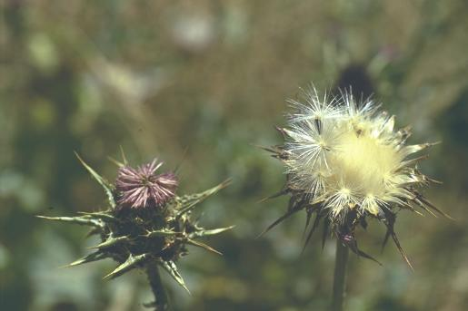גדילן מצוי Silybum marianum (L.) Gaertn.