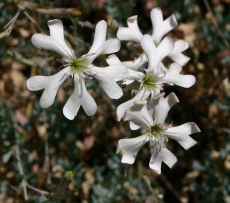ציפורנית גדולה Silene swertiifolia Boiss.