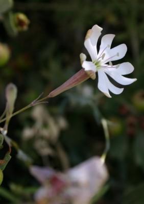Silene swertiifolia Boiss.
