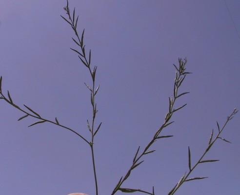 Sinapis arvensis L.