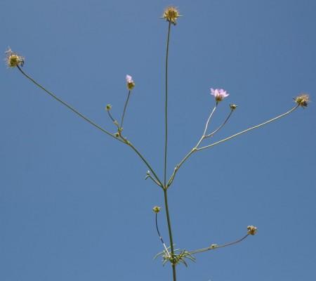 נזרית חופית Sixalix arenaria (Forssk.) Greuter & Burdet