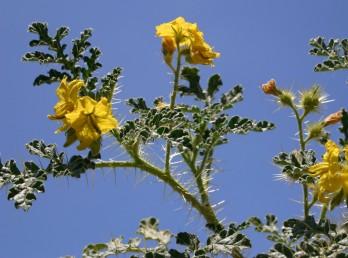 צבע הכותרת צהוב, אבקנים 5, אחד מהם ארוך בהרבה מהאחרים וכפוף לפנים. הגבעולים והעלים מכוסים קוצים ארוכים.