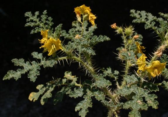 סולנום המקור Solanum cornutum Lam.