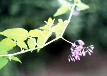 סולנום עדין Solanum dulcamara L.