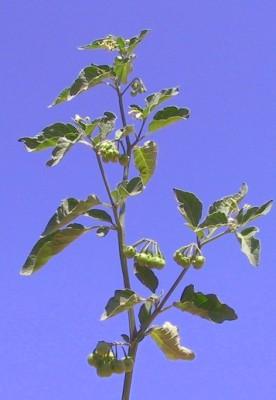 סולנום שחור Solanum nigrum L.