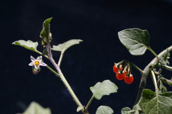 סולנום שעיר Solanum villosum (L.) Mill.