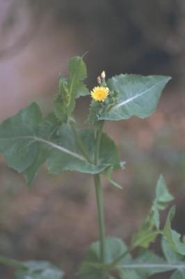 מרור הגינות Sonchus oleraceus L.