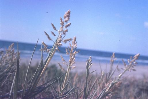 מדחול דוקרני Sporobolus pungens (Schreb.) Kunth