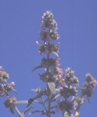 Stachys viticina Boiss.