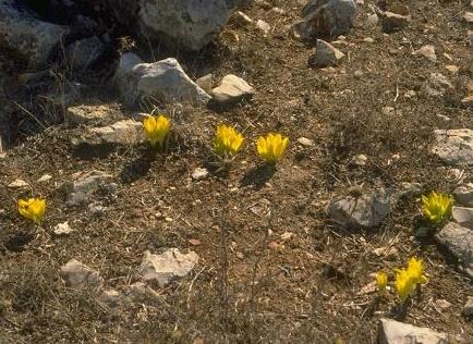 Sternbergia clusiana (Ker Gawler) Spreng.