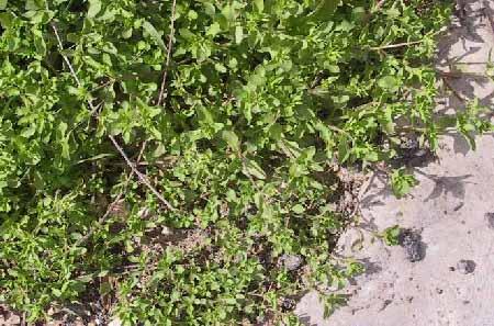 Stellaria pallida (Dumort.) Crep.