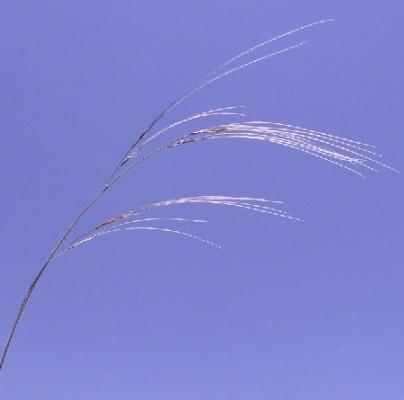 מלעניאל הנוצות Stipa arabica Trin. & Rupr.