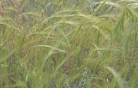 מלעניאל מצוי Stipa capensis Thunb.