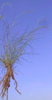 מלענן החוף Stipagrostis lanata (Forssk.) de Winter