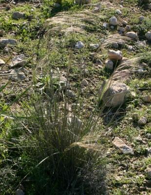 מלעניאל קטן-פרחים Stipa parviflora Desf.