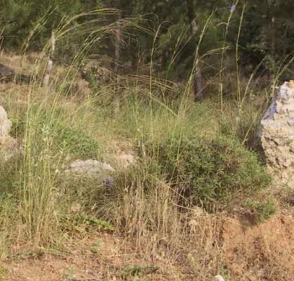 מלעניאל ארוך Stipa pellita (Trin. & Rupr.) Tzvelev