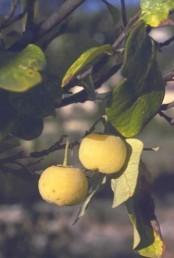 הפרי עסיסי ובתוכו גלעין חום, גדול ומבריק. הצד העליון של העלה ירוק והתחתון מלבין.