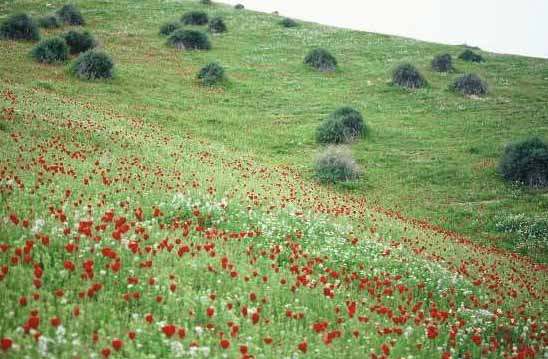 Suaeda asphaltica (Boiss.) Boiss.