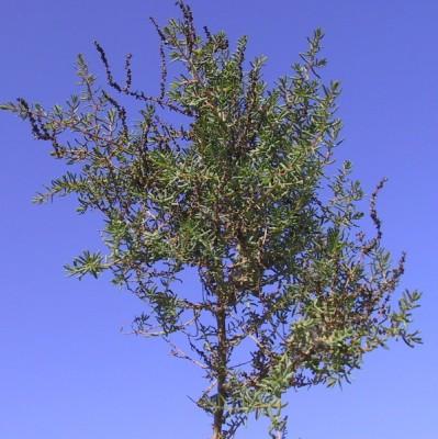Suaeda fruticosa Forssk. ex J.F.Gmel.