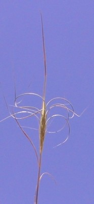 Taeniatherum caput-medusae (L.) Nevski